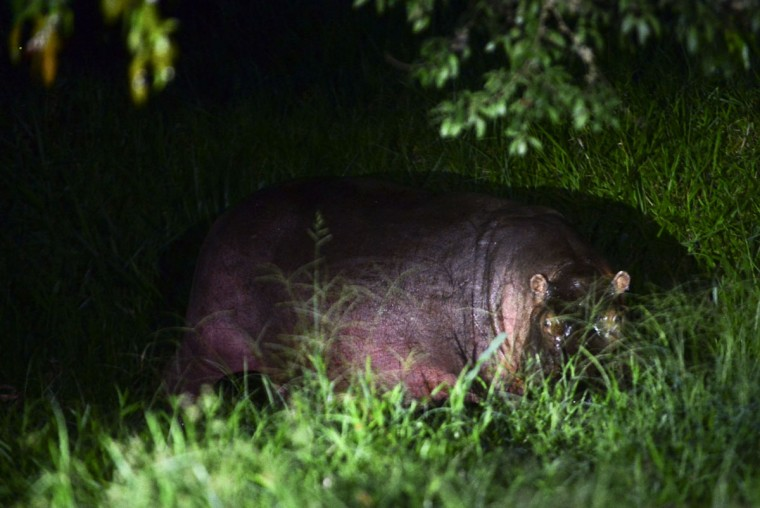 A hippo feeds at a farm on the outskirts of Doradal, Antioquia department, Colombia, near the Hacienda Napoles theme park, once the private zoo of drug kingpin Pablo Escobar at his Napoles ranch, on June 21, 2016. (RAUL ARBOLEDA/AFP/Getty Images)
