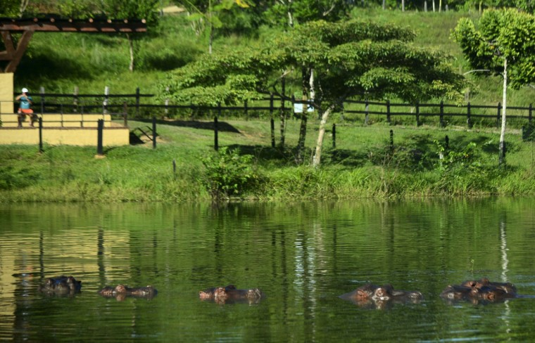 Hippos are seen at the Hacienda Napoles theme park, once the private zoo of drug kingpin Pablo Escobar at his Napoles ranch, in Doradal, Antioquia department, Colombia on June 22, 2016. (RAUL ARBOLEDA/AFP/Getty Images)