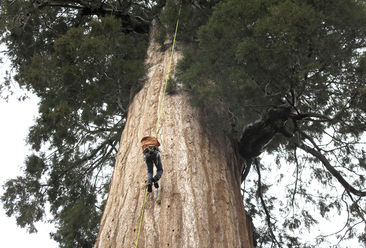 Cloning California's giant trees to reverse climate change