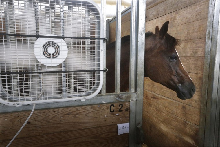 Hank, a quarter horse from Paris, Ill., stays close to a fan keeping cool inside a barn at the Illinois State Fair grounds Thursday, July 21, 2016, in Springfield, Ill. Dangerously warm conditions are in the forecast for the Midwest over the next few days. Hank will participates this weekend in the Western American Quarter Horse Association Competition. (AP Photo/Seth Perlman)