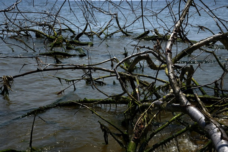 Trees that toppled from the top of the Calvert Cliffs form a natural port for seaweed. (Algerina Perna/Baltimore Sun)