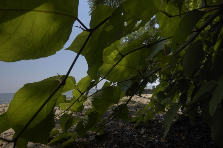 Lush vegetation grows very low along the beach at Calvert Cliffs. (Algerina Perna/Baltimore Sun)