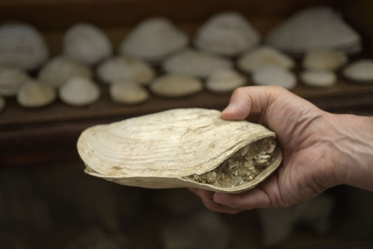 Scientist Robert Hazen holds a bivalve from his collection of clams found at Calvert Cliffs over the past 25 years. They date back 15 million years to the middle of the Miocene period. The clams, now fossils, have been preserved in the cliffs along with other sealife. (Algerina Perna/Baltimore Sun)