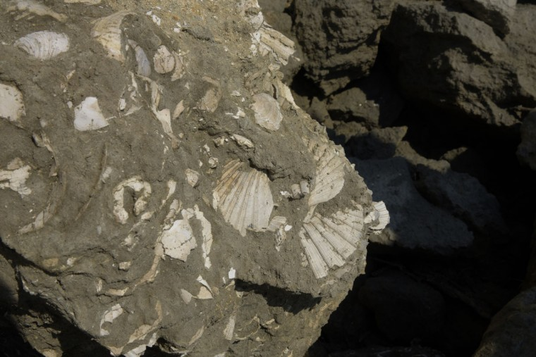 A piece of blue marl, a geologic formation containing clay and calcium carbonate, is embedded with clams shells in the upper left corner, and Chesapecten Jeffersonius scallops in the lower right corner. The scallop is the Virginia state fossil. The sea life dates back 15 million years. (Algerina Perna/Baltimore Sun)