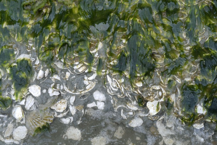 At high tide, waves wash over seaweed and the floor of Calvert Cliffs, composed of blue marl, which contains clay. The seashells are now fossils preserved from 15 million years ago. When wet and under certain conditions, the sea floor along the cliffs has the same property as quicksand. (Algerina Perna/Baltimore Sun)
