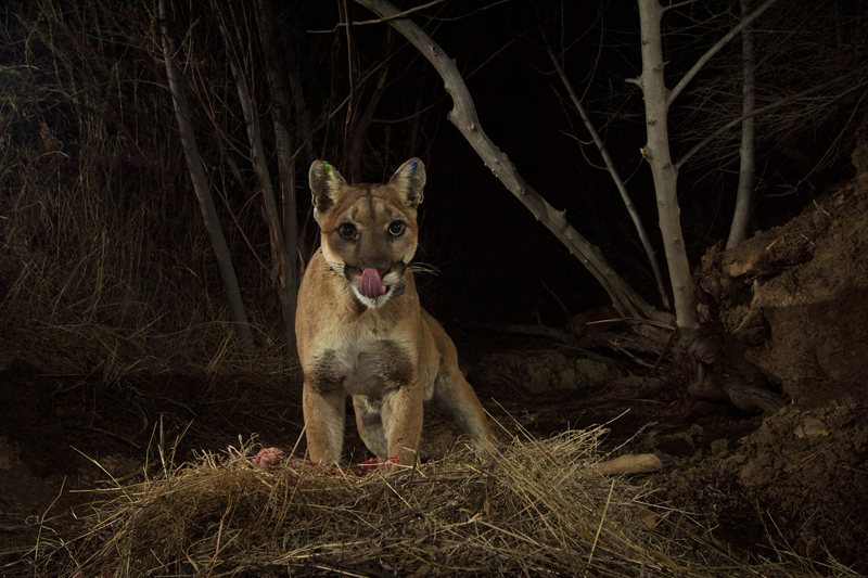 Tracking LA's cougars and coyotes