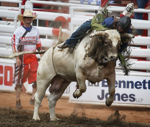 Tanner Girletz, from Bowden, Alberta, comes off Gangster Code during a bull riding event at the Calgary Stampede in Calgary, Alberta, Friday, July 8, 2016. (Jeff McIntosh/The Canadian Press via AP)