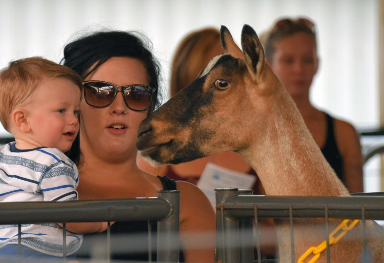 A dairy goat looks at Ace Rehling, 11 months while held by his mother, Whitney Monahan of Bel Air during the annual Harford County Farm Fair. (Karl Merton Ferron / Baltimore Sun)