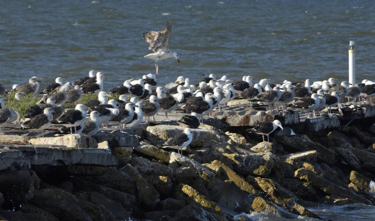 Gulls congregate on a stone jetty at Kent Point Marina, located at the southernmost point of Kent Island. (Algerina Perna/Baltimore Sun)