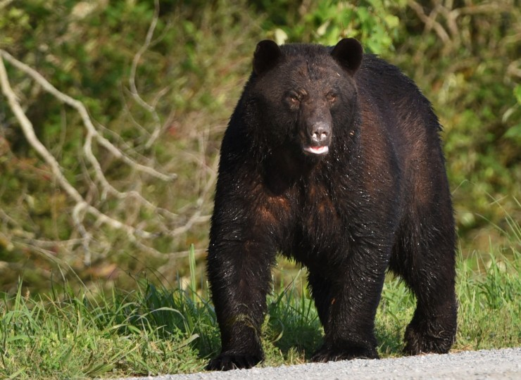 A black bear walks along Wildlife Drive after crossing a drainage ditch  at Alligator River National Wildlife Refuge. The refuge, located a few miles inland of North Carolina's Outer Banks, is home to one of the east coast's largest concentrations of black bears. (Jerry Jackson/Baltimore Sun)