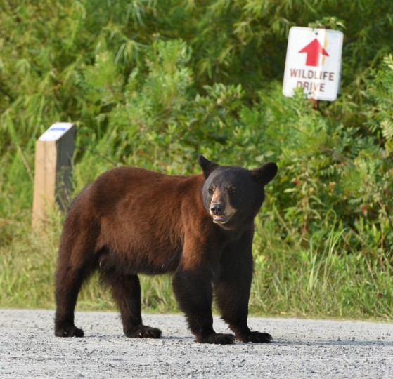 A black bear sow stands at the entrance of Wildlife Drive at Alligator River National Wildlife Refuge. The refuge, located a few miles inland of North Carolina's Outer Banks, is home to one of the east coast's largest concentrations of black bears. (Jerry Jackson/Baltimore Sun)