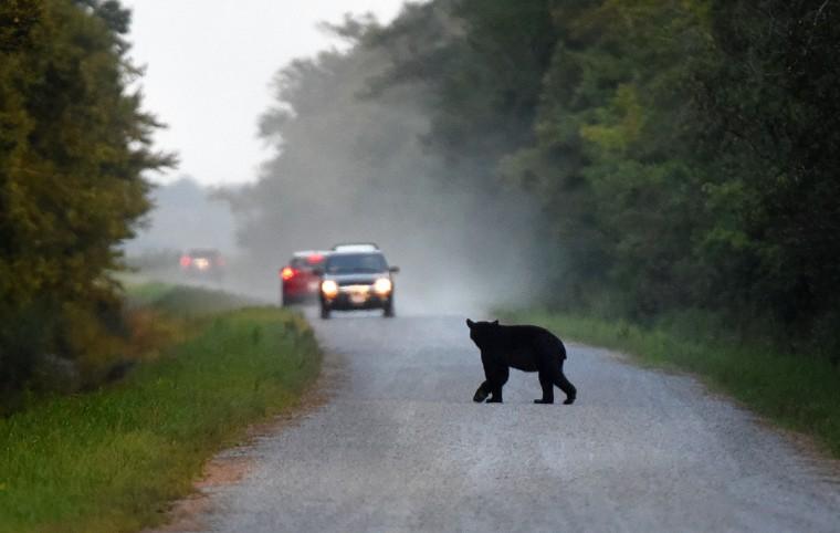 A black bear crosses Wildlife Drive at dusk at Alligator River National Wildlife Refuge. (Jerry Jackson/Baltimore Sun)
