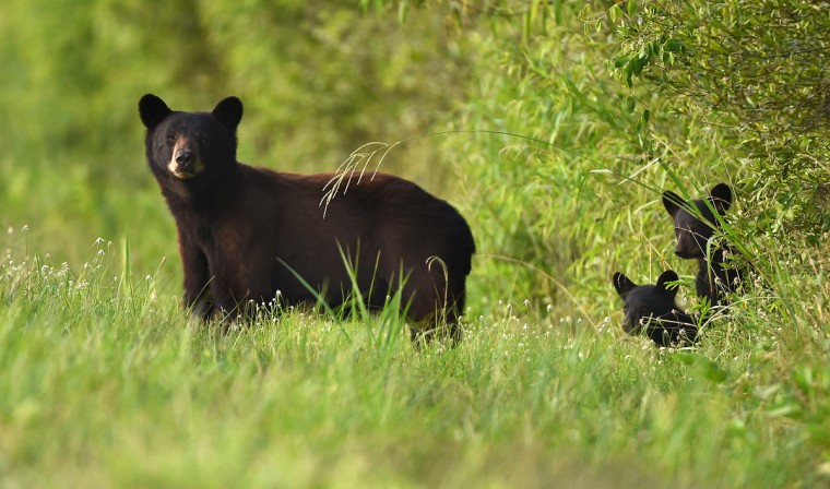 A black bear sow stands with her two cubs along Milltail Road at Alligator River National Wildlife Refuge. The refuge, located a few miles inland of North Carolina's Outer Banks, is home to one of the east coast's largest concentrations of black bears. (Jerry Jackson/Baltimore Sun)