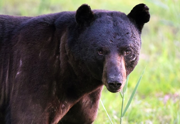 A black bear boar with visible battle scars is seen along Wildlife Drive The refuge, located a few miles inland of North Carolina's Outer Banks, is home to one of the east coast's largest concentrations of black bears. (Jerry Jackson/Baltimore Sun)