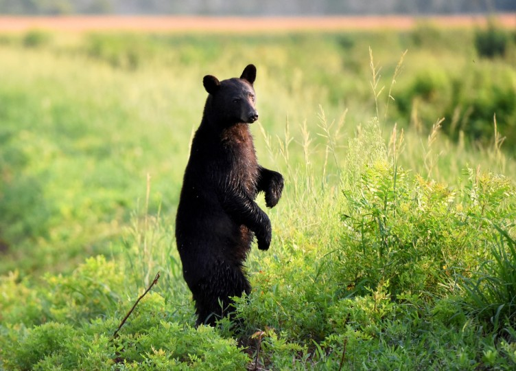A black bear stands to peer over vegetation along Wildlife Drive at Alligator River National Wildlife Refuge. The refuge, located a few miles inland of North Carolina's Outer Banks, is home to one of the east coast's largest concentrations of black bears. (Jerry Jackson/Baltimore Sun)