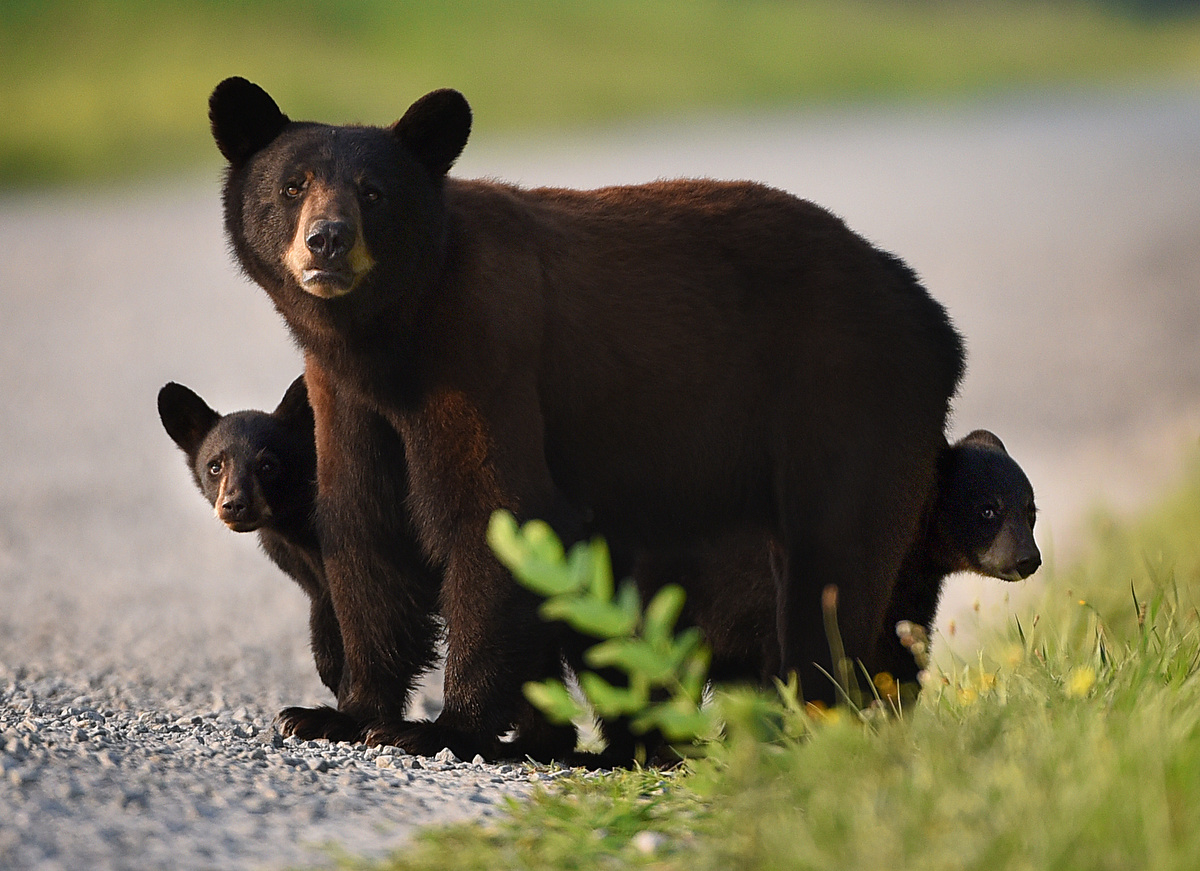 The Bears of OBX