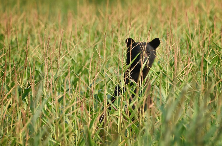 A black bear stands in a corn field along Milltail Road at Alligator River National Wildlife Refuge. The refuge, located a few miles inland of North Carolina's Outer Banks, is home to one of the east coast's largest concentrations of black bears. (Jerry Jackson/Baltimore Sun)