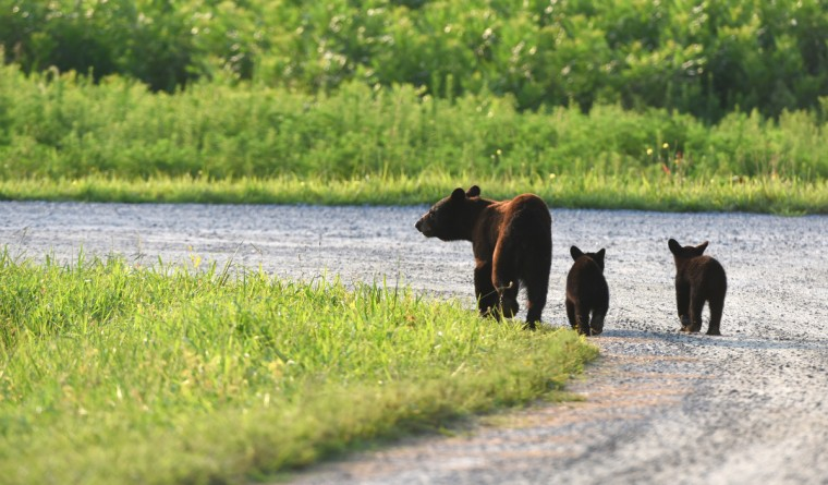 A black bear sow walks with her two cubs along Milltail Road at Alligator River National Wildlife Refuge. The refuge, located a few miles inland of North Carolina's Outer Banks, is home to one of the east coast's largest concentrations of black bears. (Jerry Jackson/Baltimore Sun)