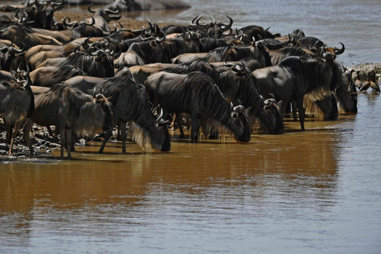 Wildebeest drink at the Mara river during the annual wildebeest migration in the Masai Mara game reserve on September 13, 2016. (Carl de Souza/AFP/Getty Images)