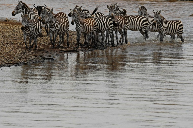 Zebra gather close to a river during the annual wildebeest migration in the Masai Mara game reserve on September 12, 2016. (Carl de Souza/AFP/Getty Images)