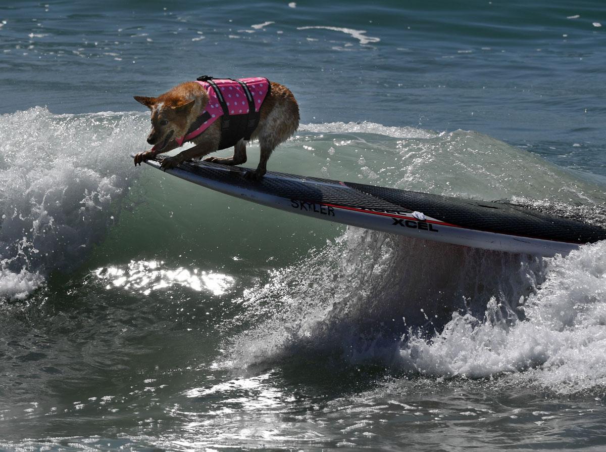 http://darkroom-cdn.s3.amazonaws.com/2016/09/AFP-Getty_US-LIFESTYLE-SPORT-ANIMAL-DOG-SURF-1.jpg