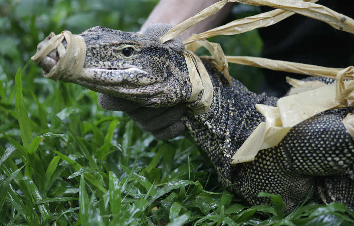 Thai park, overrun with monitor lizards