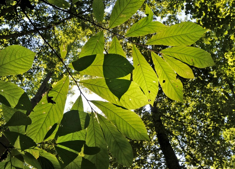 Paw Paw trees grow under the canopy at the Adkins Arboretum on the Eastern Shore. (Joshua McKerrow - The Capital) 7/28/11