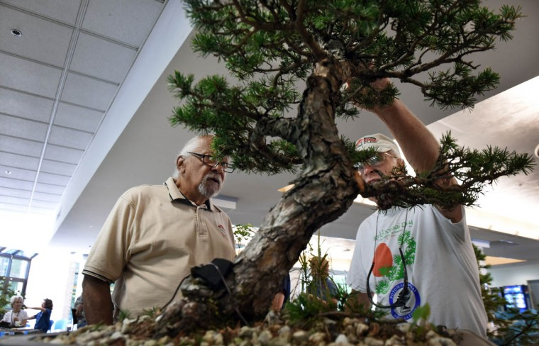 "Arschel Morell, 85, left, an original club member, talks about a Scottish Pine tree that has been in training as a bonsai for 45 years with owner Jim Sullivan during the monthly meeting of the Baltimore bonsai Club. ""The Baltimore Bonsai Club; founded in 1972; is an active and growing group of bonsai enthusiasts in Central Maryland. Club activities include exhibitions, workshops, collection trips and visiting artists,"" according to its website. (Kenneth K. Lam/Baltimore Sun)"