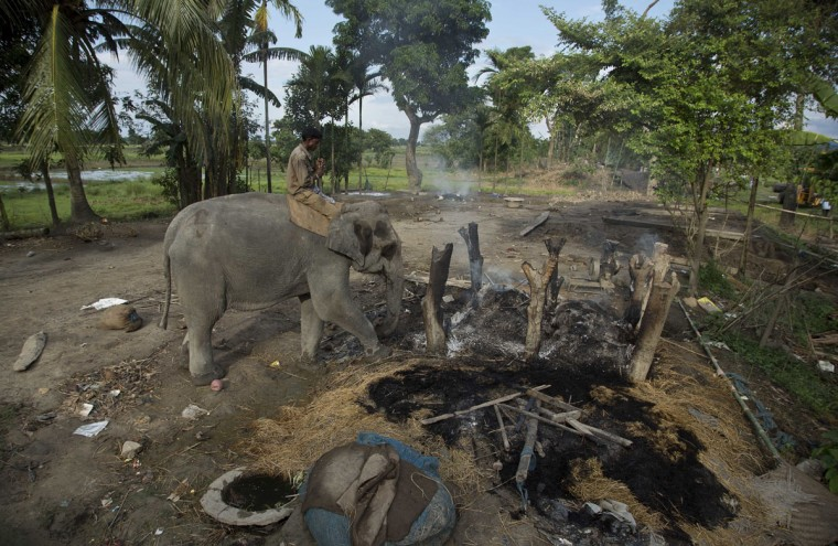 A mahout guides a forest department elephant to demolish a house on the periphery of the Kaziranga National Park, northeastern Assam state, India, Monday, Sept. 19, 2016. Authorities ordered the demolition of around 300 houses in three villages to evict people living on the periphery of the rhino sanctuary to stop rampant poaching of the rare animal, a top police official said. Two people were killed and several others were injured Monday when villagers clashed with police while protesting the demolition of their homes. (AP Photo/Anupam Nath)