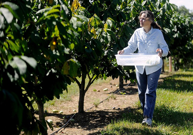 Donna Davis walks through a row of pawpaw trees looking for ripe fruit to pick. (Dave Munch, Carroll County Times)