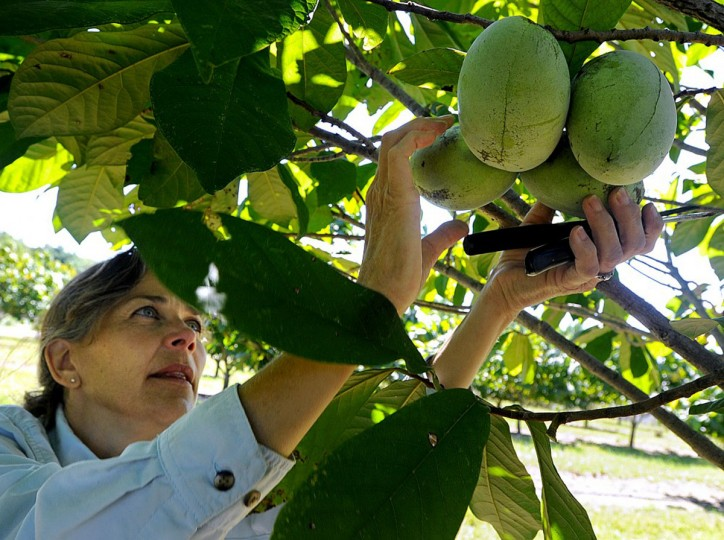 Donna Davis reaches to pick a group of pawpaws at Deep Run Pawpaw Orchard in Westminster Wednesday, Sept. 18. (Dave Munch, Carroll County Times)