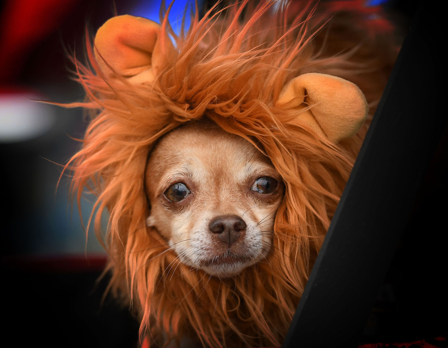 Annual Haute Dog Howl'oween parade in California
