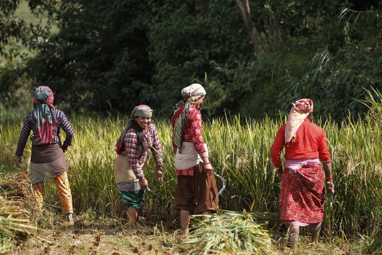 Nepalese farmers harvest paddy in Chunnikhel, on the outskirts of Kathmandu, Nepal, Wednesday, Oct. 19, 2016. According to the World Bank, agriculture is the main source of food, income, and employment for the majority in Nepal. (AP Photo/Niranjan Shrestha)
