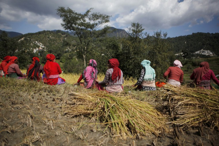Nepalese farmers take a lunch break while harvesting paddy in Chunnikhel, on the outskirts of Kathmandu, Nepal, Wednesday, Oct. 19, 2016. According to the World Bank, agriculture is the main source of food, income, and employment for the majority in Nepal. (AP Photo/Niranjan Shrestha)