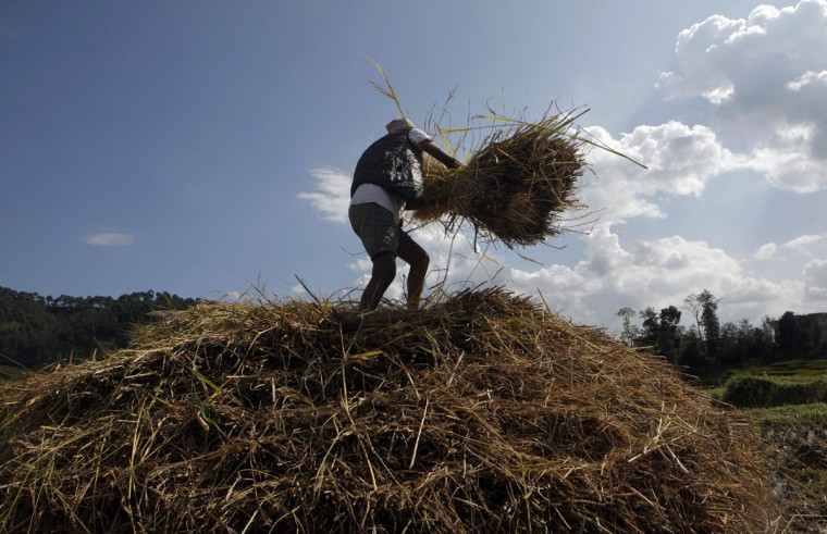 A Nepalese farmer piles up hay during paddy harvesting in Chunnikhel, on the outskirts of Kathmandu, Nepal, Wednesday, Oct. 19, 2016. According to the World Bank, agriculture is the main source of food, income, and employment for the majority in Nepal. (AP Photo/Niranjan Shrestha)