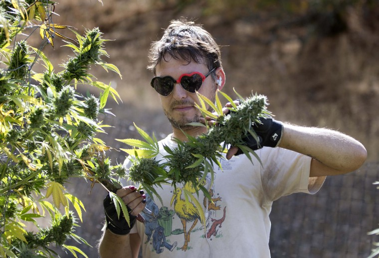 In this Wednesday, Oct. 12, 2016 photo, Anthony Viator removes a branch of buds from a marijuana plant on Laura Costa's farm near Garberville, Calif. Costa opposes the passage of Proposition 64, the Nov. 8 ballot initiative which would legalize the recreational use of marijuana, fearing that corporate interests and big farms will put her and other small growers out of business. (AP Photo/Rich Pedroncelli)