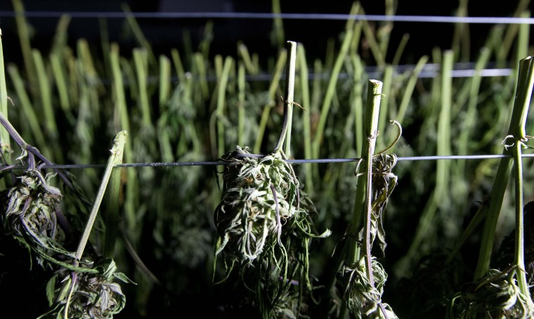 In this Wednesday, Oct. 12, 2016 photo, recently harvested marijuana buds dry at Laura Costa's farm near Garberville, Calif. Costa opposes the passage of Proposition 64, the Nov. 8 ballot initiative which would legalize the recreational use of marijuana, fearing that corporate interests and big farms will put her and other small growers out of business. (AP Photo/Rich Pedroncelli)