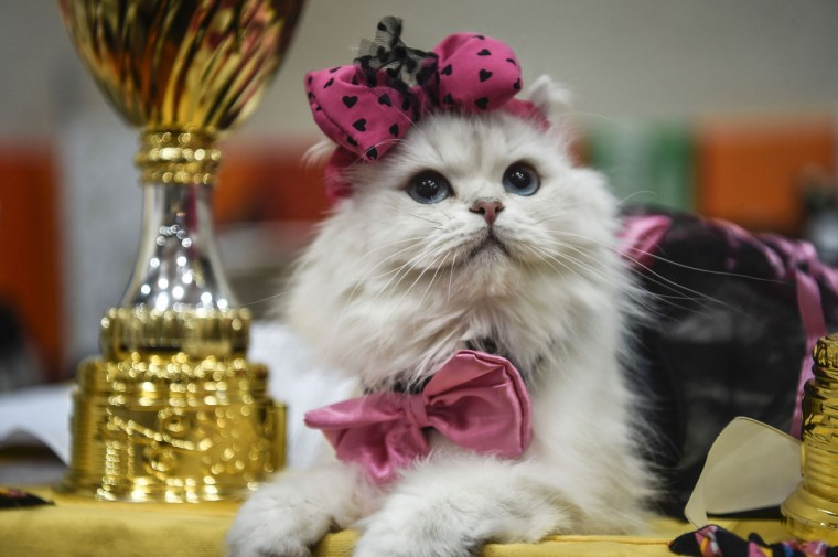 A cat is pictured next to trophies during a world cats show contest organized by the World Cat Federation (WCF) on October 16, 2016 in Istanbul. (OZAN KOSE/AFP/Getty Images)