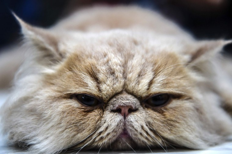 A persian cat is pictured during a world cats show contest organized by the World Cat Federation (WCF) on October 16, 2016 in Istanbul. (OZAN KOSE/AFP/Getty Images)