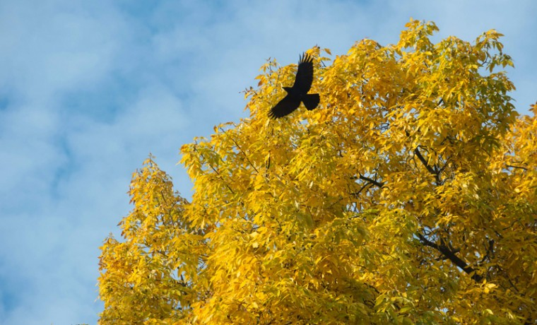 A raven flies in front of a tree in a park in Stuttgart, southwestern Germany, on October 28, 2016. (THOMAS KIENZLE/AFP/Getty Images)