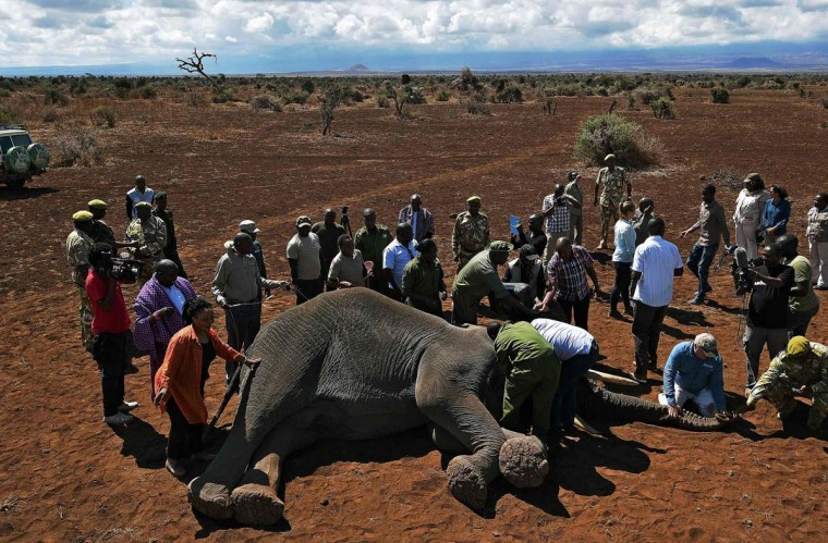 Vets collar an elephant after it was darted with a tranquilizer outside Amboseli National Park on November 2, 2016. The International Fund for Animal Welfare (IFAW) is collaring two young male elephants from the Amboseli region to better understand their migration routes. As Kenya's population increases dramatically every year more land traditionally used by elephants as routes is being populated and developed and elephants have been impacted. IFAW intends to study data from the collared elephants movements to plot how this impact affects them. (CARL DE SOUZA/AFP/Getty Images)