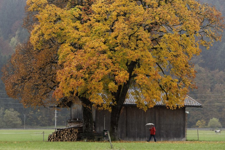 A man makes his way under an autumnally colored tree in Garmisch-Partenkirchen, Germany, Tuesday, Oct. 25, 2016. (Matthias Schrader/AP)