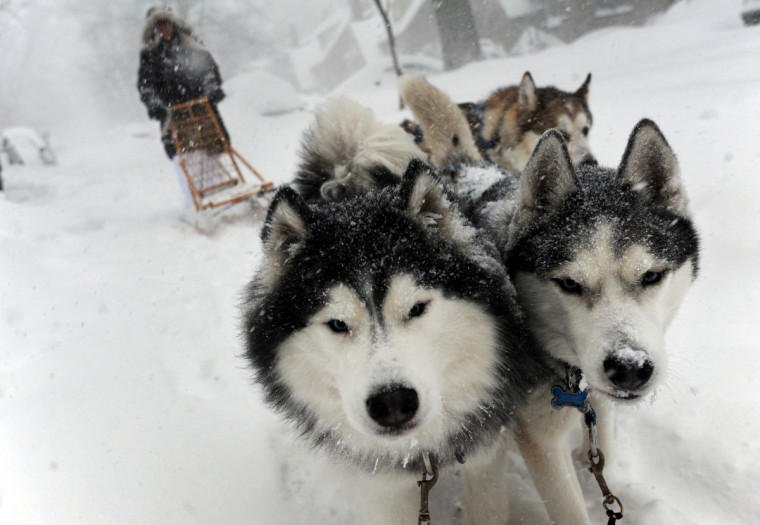Babs Levedahl takes her huskies, Merlin, left, and Misty May, right, dog sledding in Anneslie on the first full day of the Blizzard of 2016. In the background is Ollie, a friend's Malamut. (Algerina Perna/Baltimore Sun)