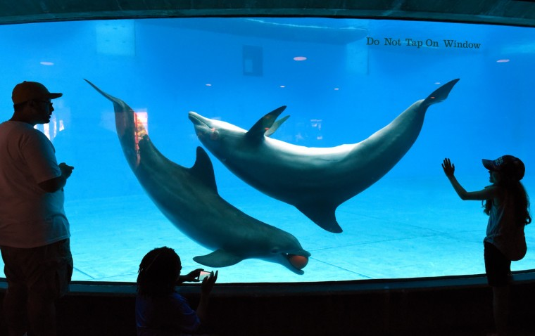 Visitors at the National Aquarium in Baltimore watch a pair of dolphins play with a ball in front of the observation window Monday afternoon. The aquarium announced that they would be phasing out the dolphin exhibit. (Jerry Jackson/Baltimore Sun)