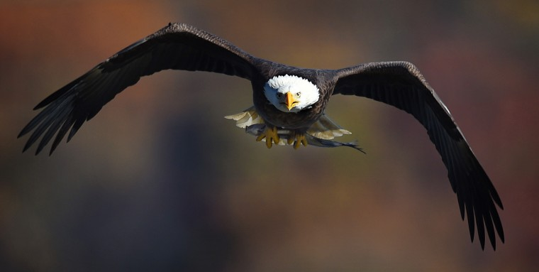 An adult bald eagle soars with a fish in its talons during Eagle Day at Conowingo Dam. (Jerry Jackson/Baltimore Sun)