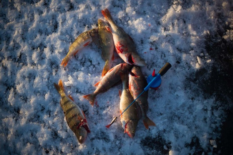Basses are seen near an ice-fishing cane on the frozen Bothnia Sea, on December 28, 2016 in Vaasa, Western Finland. (OLIVIER MORIN/AFP/Getty Images)
