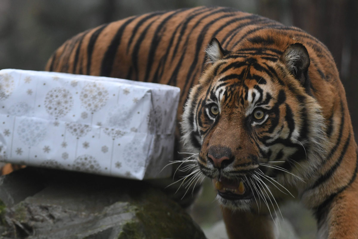 Zoo animals open their Christmas presents