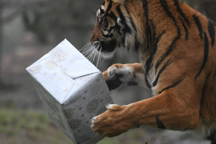 A picture taken on December 23, 2016 shows a Sumatran tiger trying to open a wrapped package filled with food as a Christmas gift at the zoo of La Fleche, western France, on December 23, 2016. / (AFP Photo/Jean-francois Monier)