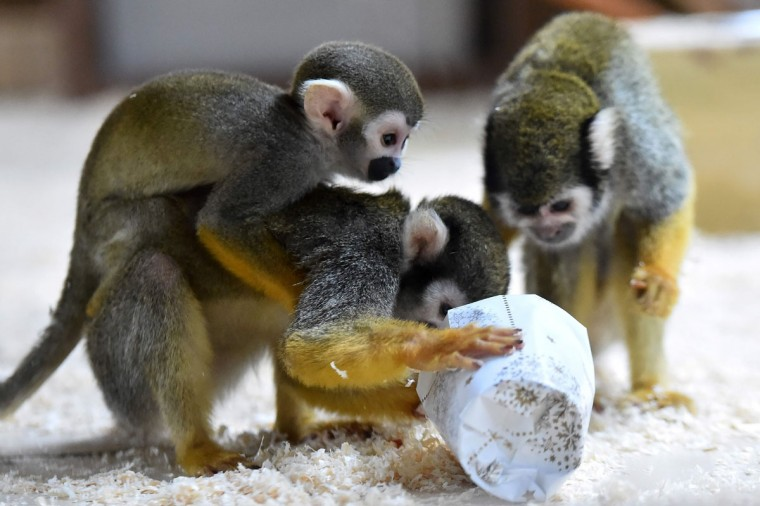 Squirrel monkeys trie to open a wrapped package filled with food as a Christmas gift at the zoo of La Fleche, western France, on December 23, 2016. / (AFP Photo/Jean-francois Monier)
