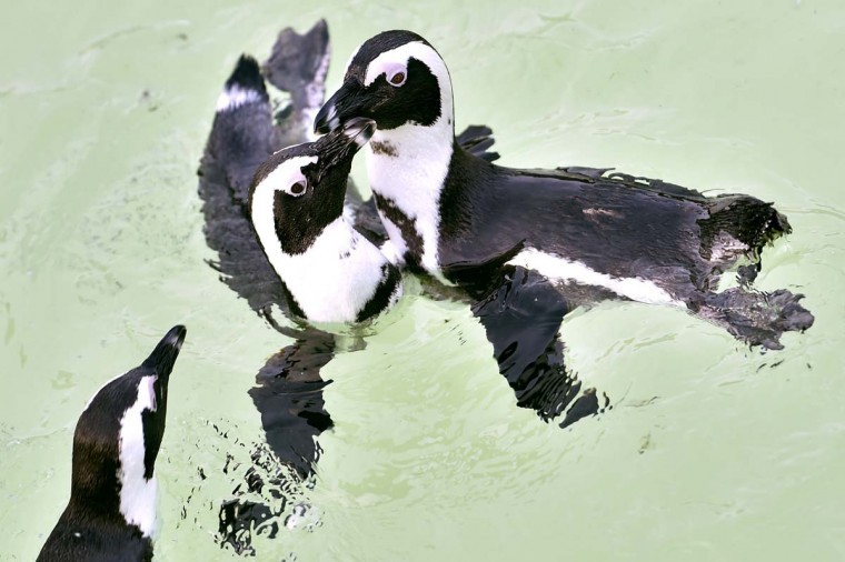 African penguins, also known as jackass penguins and black-footed penguins, swim in their enclosure at the Ocearium in Le Croisic, western France, on December 6, 2016. (LOIC VENANCE/AFP/Getty Images)